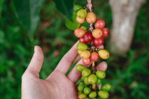 Caffè verde, proprietà e benefici