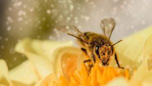 Polline d'api dove si compra